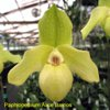 Novelty Paphiopedilum for Sale